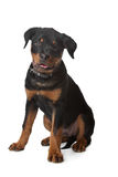 Chiot de Rottweiler Photos libres de droits