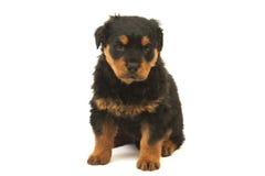 Chiot de Rottweiler Photo stock
