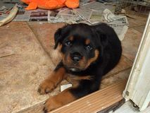 Chiot de Rottweiler Photos stock