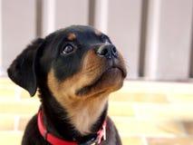 Chiot de Rottweiler Image libre de droits