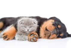 Chiot de rottweiler de sommeil étreignant le chaton nouveau-né D'isolement sur le wh Photos stock