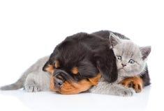 Chiot de rottweiler de sommeil étreignant le chaton nouveau-né D'isolement sur le wh Photo libre de droits