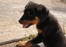 Chiot de rottweiler regardant au-dessus d'un mur Photo stock