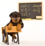 Chiot de Rottweiler se reposant sur le mini bureau d'école Images stock