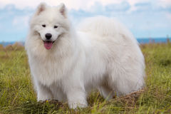 Chiot de Samoyed Images stock