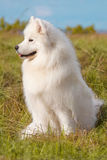 Chiot de Samoyed Photos libres de droits