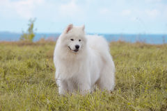 Chiot de Samoyed Photo stock