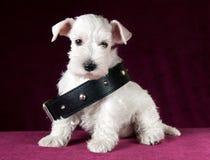 Chiot de Schnauzer avec le collier de chien Photos stock