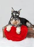 Chiot de schnauzer de Saint-Valentin Photo stock