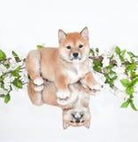 Chiot de Shiba Inu image stock