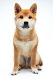 Chiot de Shiba Inu image libre de droits