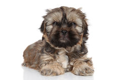 Chiot de Shih Tzu Photo stock