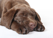Chiot de sommeil Photographie stock libre de droits