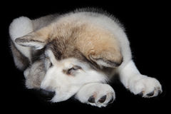 Chiot de sommeil Image libre de droits
