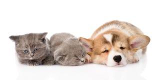 Chiot de sommeil Pembroke Welsh Corgi et deux chatons D'isolement sur le blanc Image stock