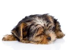 Chiot de sommeil Yorkshire Terrier Sur le fond blanc Images stock