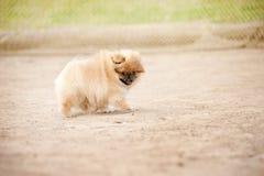 Chiot de spitz de Pomeranian Images libres de droits