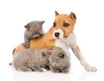 Chiot de Stafford jouant avec des chatons D'isolement sur le fond blanc Photographie stock