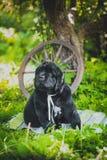 Chiot de Terre-Neuve, noir, de laine photo stock