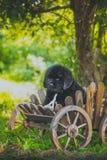 Chiot de Terre-Neuve, noir, de laine Photographie stock libre de droits