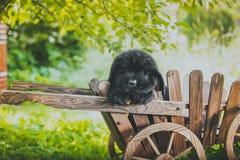 Chiot de Terre-Neuve, noir, de laine Images stock
