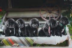 Chiot de Terre-Neuve, noir, de laine Photos stock