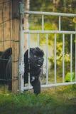 Chiot de Terre-Neuve, noir, de laine Photos libres de droits