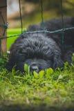 Chiot de Terre-Neuve, noir, de laine photographie stock
