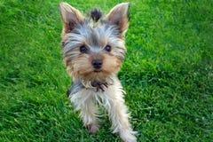 Chiot de terrier de Yorkshire dans l'herbe Images libres de droits