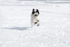 Chiot de terrier tibétain fonctionnant dans la neige photos stock