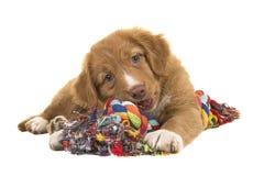 Chiot de tintement de chien d'arrêt de canard mignon de la Nouvelle-Écosse se trouvant sur le plancher mâchant sur W multicolore Photos stock
