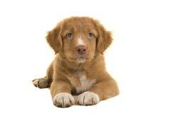 Chiot de tintement de chien d'arrêt de canard mignon de la Nouvelle-Écosse se trouvant sur le plancher vu de l'avant Images stock