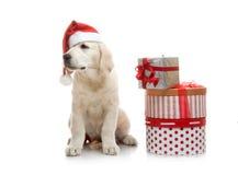 Chiot de trois mois de chien d'arrêt d'or en rouge Photos libres de droits