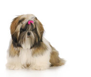 Chiot de tzu de Shih Photo stock