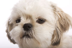Chiot de tzu de Shih Photos stock