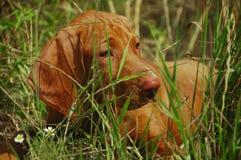 Chiot de Vizsla dans l'herbe grande Photos stock