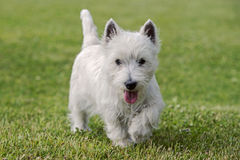 Chiot de Westie Photo libre de droits