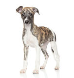 Chiot de whippet Photo stock