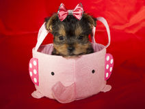 Chiot de Yorkie Photo libre de droits
