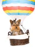 Chiot de Yorkie se reposant à l'intérieur du ballon à air chaud Images stock