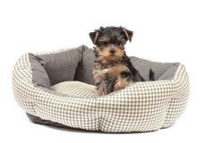 Chiot de Yorkshire Terrier Photos libres de droits