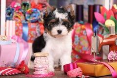 Chiot de Yorkshire Terrier de castor Photos stock