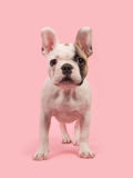 Chiot debout mignon de bouledogue français vu de l'avant sur un fond rose Photographie stock libre de droits