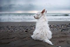 Chiot des montagnes occidental de terrier à la mer d'hiver photographie stock