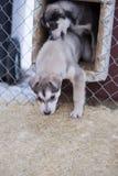 Chiot deux mois de chien de chien de traîneau Photo stock