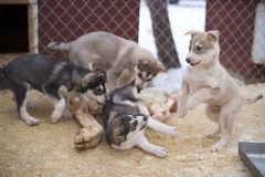 Chiot deux mois de chien de chien de traîneau Photographie stock libre de droits