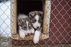 Chiot deux mois de chien de chien de traîneau Image libre de droits