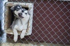 Chiot deux mois de chien de chien de traîneau Photo libre de droits