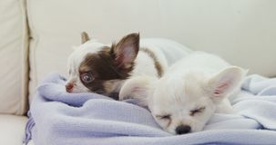 Chiot deux somnolent se trouvant sur la serviette sur le sofa à la maison 4K 4k clips vidéos