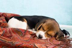 Chiot dormant sur la couverture Photo stock